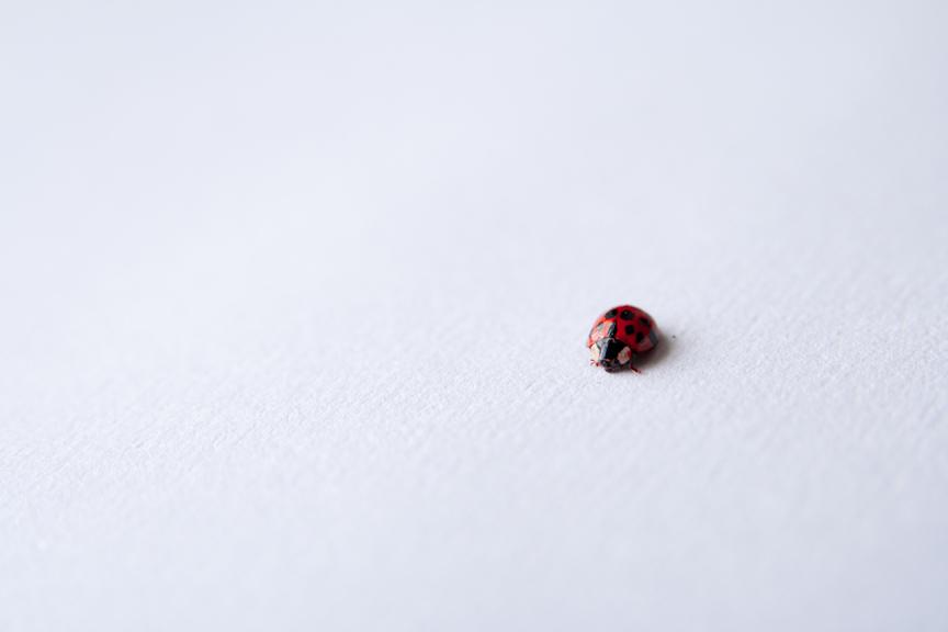Ladybug Unsplash