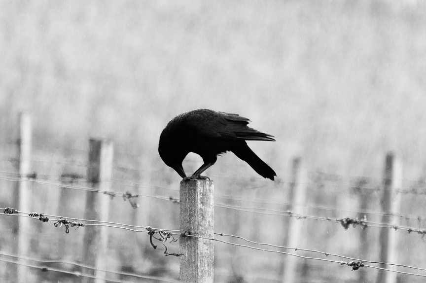 Unsplash Crow Fence